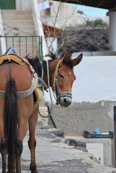Alicudi, Eolian Islands, Sicily. Lo scecco #asino. #somaro http://agriturismosiciliavillarica.wordpress.com/2013/11/28/perche-in-siciliano-gli-asini-sono-chiamati-scecchi/  #eolie #sicilia #sicily #sicile