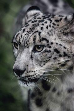 "vistale: "" Snow Leopard | via """
