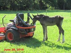 Curiosity may have killed the cat, but is sure makes a Shire baby happy.and busy! This is little Aurora. Shire Horse, Curiosity, Farms, Aurora, Goats, Horses, Happy, Animals, Homesteads