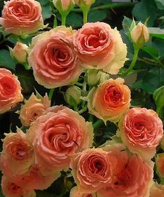 Apricot Spice Rose