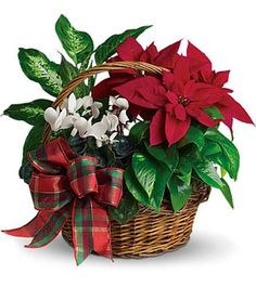 Christmas Planter of poinsettias in wicker basket.