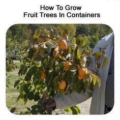 Can You Grow Fruit Trees in Containers? How To Grow Fruit Trees In Containers Small Fruit Trees, Fruit Trees In Containers, Container Plants, Container Gardening, Urban Gardening, Patio Trees, Potted Trees, Trees And Shrubs, Trees To Plant