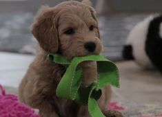 Buy Cheap Goldendoodle Puppies for Sale near me Goldendoodles For Sale, Goldendoodle Puppy For Sale, Labradoodle, Cute Little Puppies, Cute Dogs, Puppies For Sale, Buy Cheap, Cute Animals, Texas