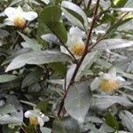 Where you could buy the tea plants to grow your own tea!  I suggest Camelia Senensis var Senensis - (hardier plant) and suggest cuttings instead of seedlings. From reading the plant should be 3+ yrs old to harvest..?