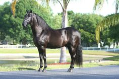 Black Paso Fino Stallion