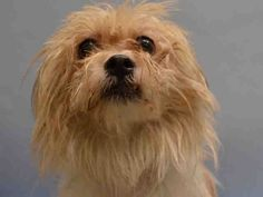 SAFE - 11/23/15 - RON WEASLY - #A1036821 - Super Urgent Manhattan - **RETURNED 11/22/15** - NEUTERED MALE TAN & WHITE GLEN OF IMAAL MIX, 2 Yrs 6 Mos - RETURN - AVAILABLE, HOLD RELEASED Reason MOVE2PRIVA - Intake 11/22/15 Due Out 11/22/15 - NERVOUS AND FEARFUL