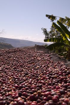 Drying whole coffee cherries in Harar, Ethiopia