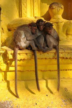 Travel Inspiration for India - INDIA: Temple Monkeys on yellow ediface. Shivaganga, India by Hari Prasad Nadig Primates, Mammals, Beautiful Creatures, Animals Beautiful, Cute Animals, Asia, Amazing India, Goa India, Delhi India