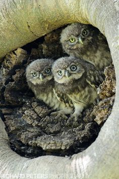 Three little owl owlets peer out of their nest hole in the side of a tree.