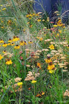 Uprising - Hampton Court Flower Show 2012. Design by Daniel Shea. Photo by Cecilia Soneskär. Achillea filipendulina 'Gold Plate', Helenium 'Fata Morgana', Deschampsia cespitosa 'Goldtau'