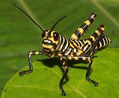 Belize Tiger Grasshopper