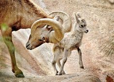 This is a Ram, Big Horned Sheep, and it's baby. The males compete for the herd by running full speed and at the last minute, they raise up with violent force and ram their horns into their apponent's horns. The cracking sound resonates throughout the rocky hillside, above timberline, of high mountains, where they live. Were it not for the specialized cushioning system God gave them, they'd never survive the high impact! They feed in the high meadows, safe from natural predators.