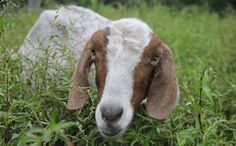 "Saved From Slaughter, Maddie the Goat Learns to Love and Trust Again - the reality of 4-H and ""humane"" farming in the ""goat industry"" from the goat's point of view"