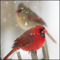 male and female Northern Cardinal