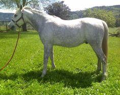light grey dapple horse - Google Search