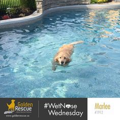 On this #wetnosewednesday , Marlee 1912 is showing us how he has maintained his physique through lockdown. Remember that daily movement (even just a solo dance party) is key for physical and mental health. #goldenretriever #rescuedog #secondchances #adoptdontshop Second Chances, Rescue Dogs, Wednesday
