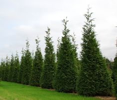How To Plant Thuja Green Giant