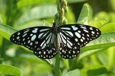 Mariposa Ideopsis Similis