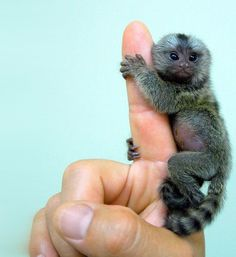 Finger monkey--yes, he is legit. And his potbelly is adorable.