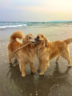 Lady and the Tramp At the Beach #goldenretriever