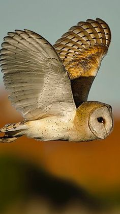 Barn owls are my favorite