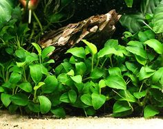 Anubias Nana, a Midground Plant for Freshwater Aquariums- I have a little specimen of this. Seem to be doing well. Just not sure of the correct placement in the tank