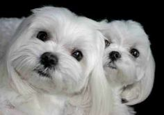 A life with Maltese dogs to cuddle.