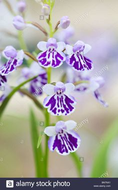 Butterfly-Wings-Orchid: Ponerorchis graminifolia