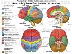 Hospital Santo Tomas: Anatomía y área funcionales del cerebro