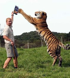 South African Wrangler Ashley Gombert interacts with Shosho, a 250kg male tiger at the Seaview Lion Park on April 25, 2012 in Port Elizabeth, South Africa. (Barcroft)