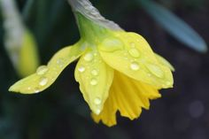 Raindrops are falling on my....daff (35 pieces)