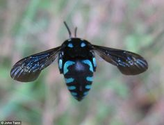 Cuckoo bees have bright blue and black striped bodies, rather than the typical yellow and black coloring.