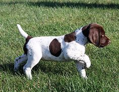Information to help new puppy owners. Working dog. Pointer puppy.