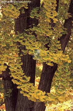"""Ginko, source unknown - Previous pinner wrote """"I absolutely love Ginko trees. They remind me of grown up Maiden Hair Ferns, so ethereal & delicate. Ginko Tree, Holden Arboretum, Hiroshima, Trees And Shrubs, Deciduous Trees, Nature Tree, Tree Forest, Branches, Belleza Natural"""