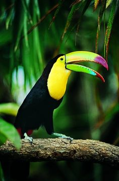 Keel-billed Toucan | Amazing Pictures - Amazing Pictures, Images, Photography from Travels All Aronud the World