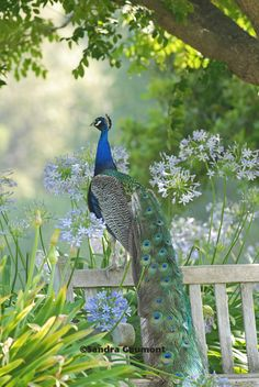 Peacock on a bench in the garden. Lovely, everyone should have one♡