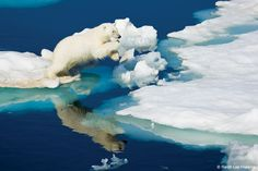 Polar Bear, Hinlopev strait, Svalbarb, Norway