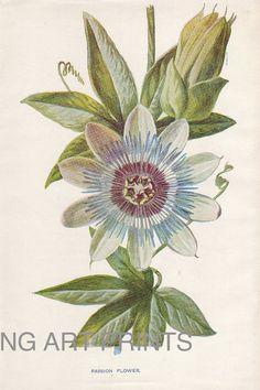 Antique Print, Vintage Flower Print, Botanical Print, Botanical Wall Art, 1800s Chromolithograph, V4, Passion Flower Print, Hibberd Print