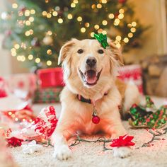 """Merry Christmas!"" writes @nataliekunkel & @willowthegoldencollie  #dogsofinstagram #dog by dogsofinstagram"