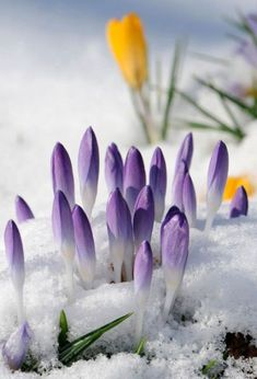 Crocus spring flowers which are indeed one of the First Signs Of Spring. As you see here sometimes in England we have random snow in spring :D beautiful Picture Spring Sign, Signs Of Spring, Cactus Y Suculentas, Spring Has Sprung, Parcs, Winter Garden, Belle Photo, Spring Flowers, Winter Flowers