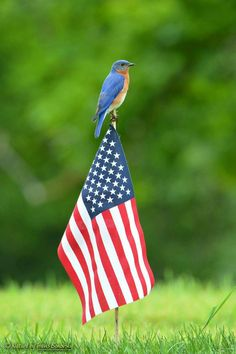 Bluebird perching on flag. United We Stand, Bird Feathers, Fourth Of July, Blue Bird, Photo Art, Cat Lovers, Wings, Flag, Stripes