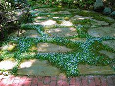 Pratia pedunculata Country Park - Country Park Blue Star Creeper - 10 Count Flat - 4.5 Pots - Pratia