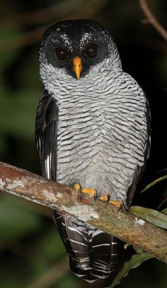 Black and White Owl (Strix nigrolineata), San Carlos, Costa Rica