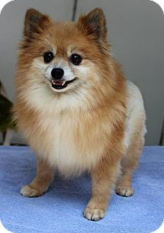 Yardley, PA - Pomeranian Mix. Meet Foxy, a dog for adoption. http://www.adoptapet.com/pet/13289932-yardley-pennsylvania-pomeranian-mix