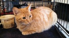 Meet Blondy, an adoptable Domestic Short Hair looking for a forever home. If…