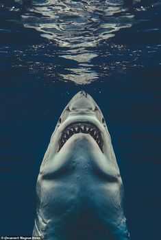 Massive great white shark perfectly recreates iconic Jaws movie poster in photographer's stunning underwater pic Shark Pictures, Shark Photos, Shark Week, Scary Ocean, Hai Tattoos, Photo Animaliere, Great White Shark, Tier Fotos, Ocean Life