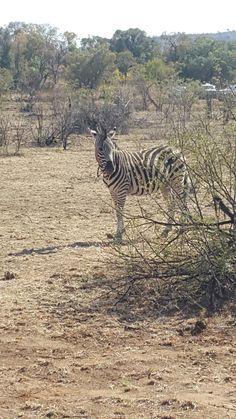 *20/08/2016* Zebra