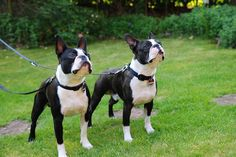 2 Boston Terrier