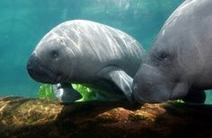 Columbus Zoo Animals: Manatees