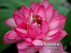 Fen Jing Ling lotus 1 | by Klong15 Waterlily Jing Ling, Realistic Flower Drawing, Nelumbo Nucifera, Water Lilies, Lotus, Rose, Drawings, Garden, Flowers